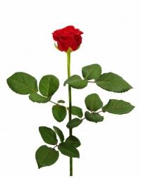 Красная роза Эль Торро