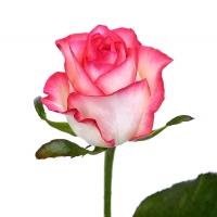 Бело-розовая роза  60-70 см