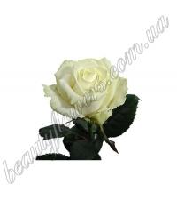 Белая роза 60-70 см