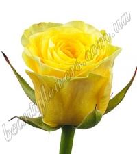 Желтая роза 60-70 см