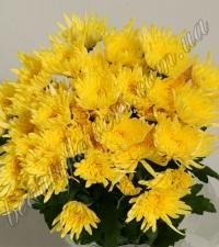 Желтая кустовая хризантема