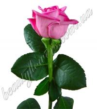 Розовая роза 70 см