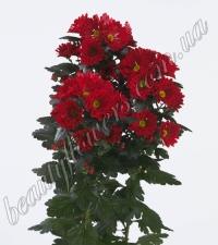 Красная кустовая хризантема