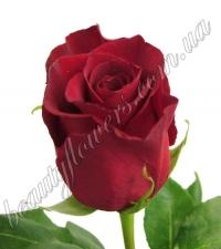 Красные импортные розы