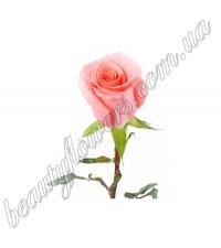 Розовые импортные розы