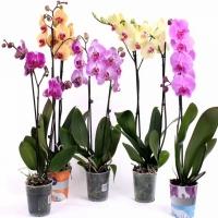 Акция!!! Орхидея 2 ветви