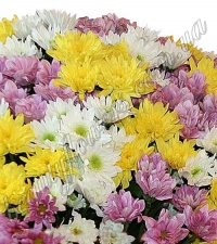 Хризантема кустовая разноцветная