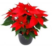 Рождественская звезда (пуансеттия)