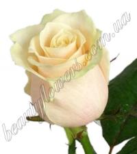 Кремовая роза 70 см