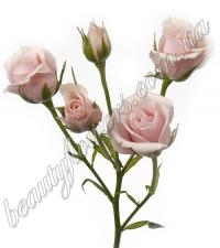 Разноцветные кустовые розы
