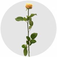 Кремовые премиум розы